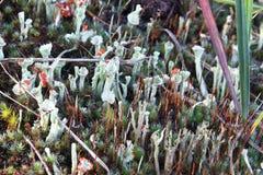 Lichen. Red hat lichen close up stock photos