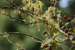 Lichen s'élevant sur l'arbre de pompon Photo stock