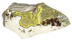 Lichen on slate. Different species of lichen on a piece of slate stock images