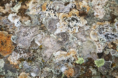 Lichen on a stone Stock Image