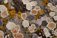 Lichen Stone Background. The stone is covered with colored lichen royalty free stock photos