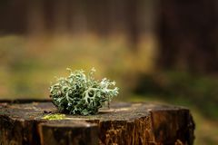 A lichen on a stump. royalty free stock photos