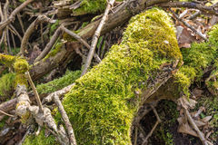 Lichen in sunlight on an old tree trunk Royalty Free Stock Images
