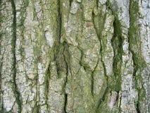 Lichen sur l'écorce de saule Image stock