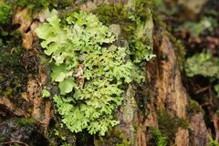 Lichen sur l'arbre photos stock