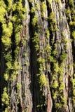 Lichen sur l'arbre de séquoia Photographie stock