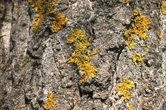 Lichen sur la branche d'arbre Le lichen se d?veloppe sur le bois putr?fi? image libre de droits