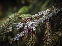 Lichen sur la branche impeccable Image stock