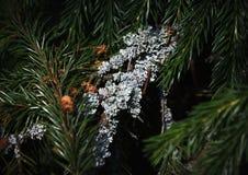 Lichen sur la branche impeccable Photo stock