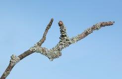 Lichen sur la brindille photographie stock libre de droits