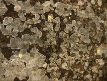 Lichen sur la pierre Image stock
