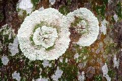 Lichen sur le joncteur réseau d'arbre Photos stock