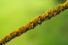 Lichen sur le macro de branche Image libre de droits
