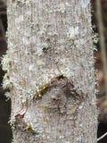 Lichen sur le tronc d'arbre Image libre de droits