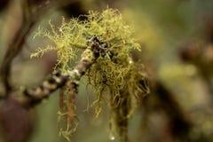 Lichen sur les arbres photos stock