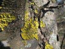 Lichen sur un arbre Photo libre de droits