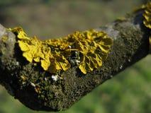 Lichen sur un arbre Photo stock