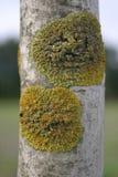 Lichen sur un bouleau Photos stock