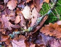 Lichen sur une brindille en automne Photo libre de droits