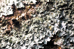 Lichen texture. Close up photo of the lichen texture royalty free stock images