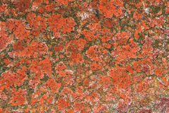 Lichen Texture Pattern Background no assoalho imagem de stock royalty free
