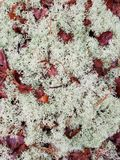 Thriving lichen with beautiful fallen red leaves. Lichen that is thriving on the damp floor of the woods on a spring day peppered with lovely red fallen leaves stock photography