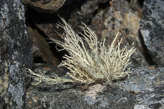 lichen touffu s'élevant sur des roches de la péninsule antarctique Photographie stock