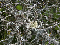 Lichen on a tree Royalty Free Stock Images