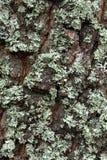 Lichen on the tree bark. Net-marked parmelia (Parmelia sulcata), or Shield lichen on the old tree bark Royalty Free Stock Photos