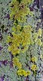 Lichen Tree Bark Imágenes de archivo libres de regalías