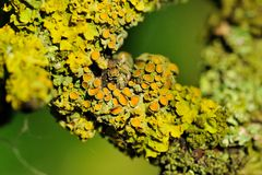 Lichen on Tree Bark Close-Up Royalty Free Stock Photos