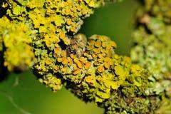 Lichen on Tree Bark Close-Up Royalty Free Stock Photos