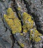 Lichen. On tree bark closeup royalty free stock photography
