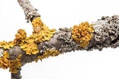 Lichen on a tree branch. Lichen on a tree branch isolated on white background stock photo