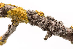 Lichen on a tree branch. Stock Photos