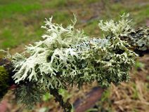 Lichen on tree branch, Lithuania royalty free stock photo