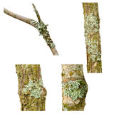 Lichen on a tree branch Stock Images