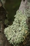 Lichen on a Tree. Close up of lichen covering part of a tree along the Blue Ridge Parkway in South Carolina, USA Royalty Free Stock Photos
