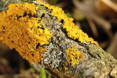 Lichen on tree Royalty Free Stock Photo
