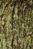 Lichen on a Tree Royalty Free Stock Photos