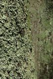 Lichen on Tree. Lichen growing on the bark of a tree along the Blue Ridge Parkway in South Carolina, USA Royalty Free Stock Images
