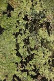 Lichen on a Tree. Lichen growing on a tree in the forest along the Blue Ridge Parkway in South Carolina, USA Stock Image