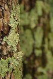 Lichen on Tree. Lichen growing on the trunk of a tree in South Carolina, USA Stock Photos