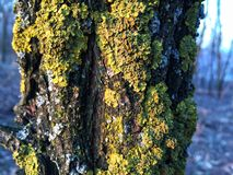 Lichen tree Royalty Free Stock Photos