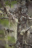 Lichen on tree. Spooky looking tree covered in lichen.  on a blurry background Stock Photos