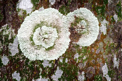 Lichen on tree trunk. Rings of lichen growing on tree trunk in humid forest Stock Photos