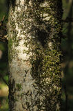 Lichen on the tree trunk. Royalty Free Stock Photos