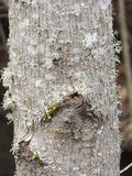 Lichen on Tree Trunk Royalty Free Stock Image