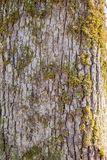 Lichen on a tree trunk. Moss on the old trunk Royalty Free Stock Photos