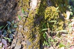 Lichen on tree trunk Royalty Free Stock Photo